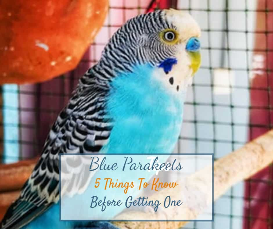 Blue Parakeets – 5 Things To Know Before Getting One