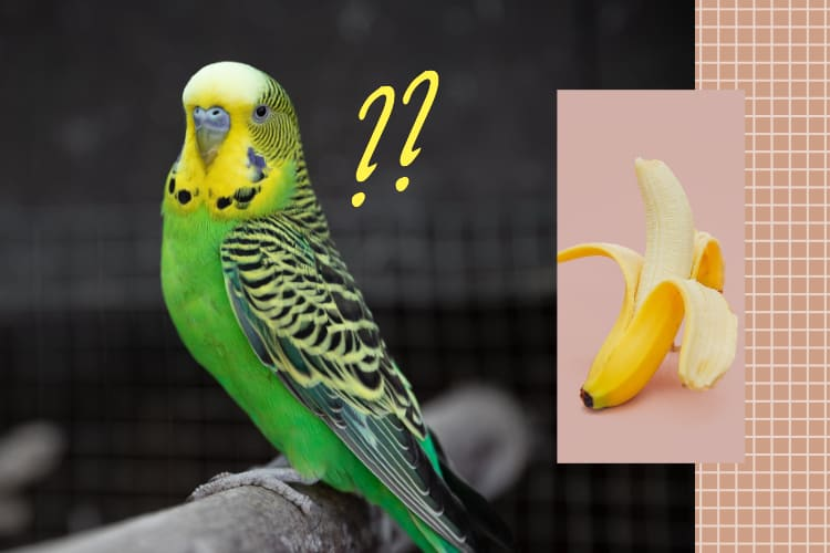 Can Parakeets Eat Bananas? Foods for My Budgie