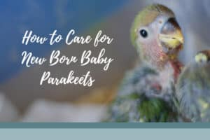 Baby Parakeets: Caring Tips for Newborn Budgies