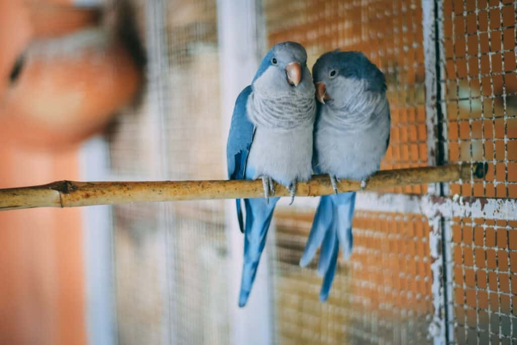 Parakeet Breeding Guide