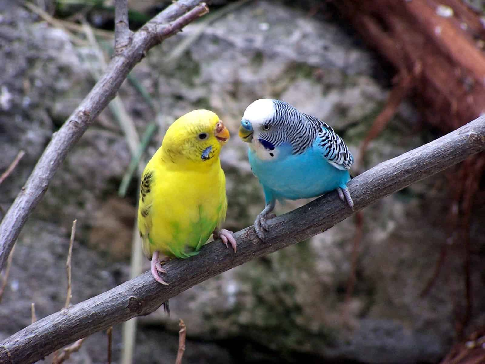 Parakeet Breeding Guide – How Do Parakeets Mate?