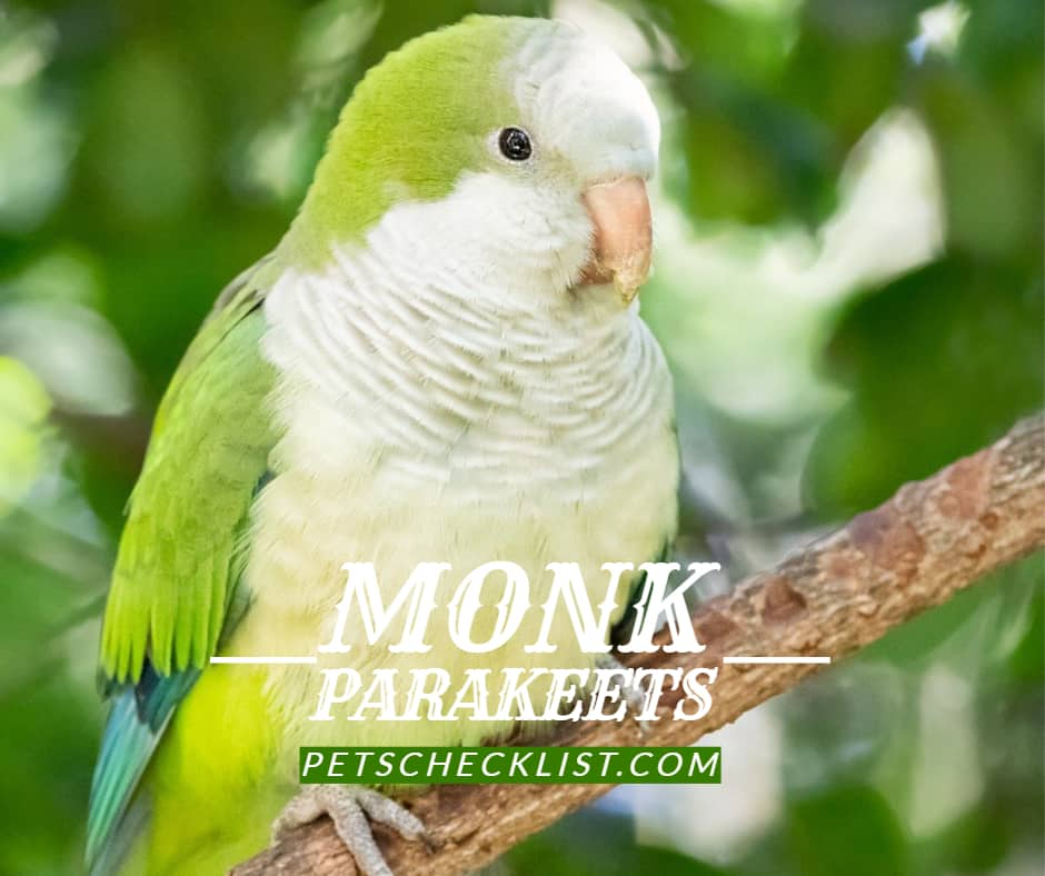 Monk Parakeets – A Complete Guide Before You Get One