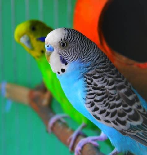Parakeets as Pets: Why Budgies Make Wonderful Pets