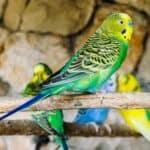 How Long Do Parakeets Live? Average Lifespan of Budgies