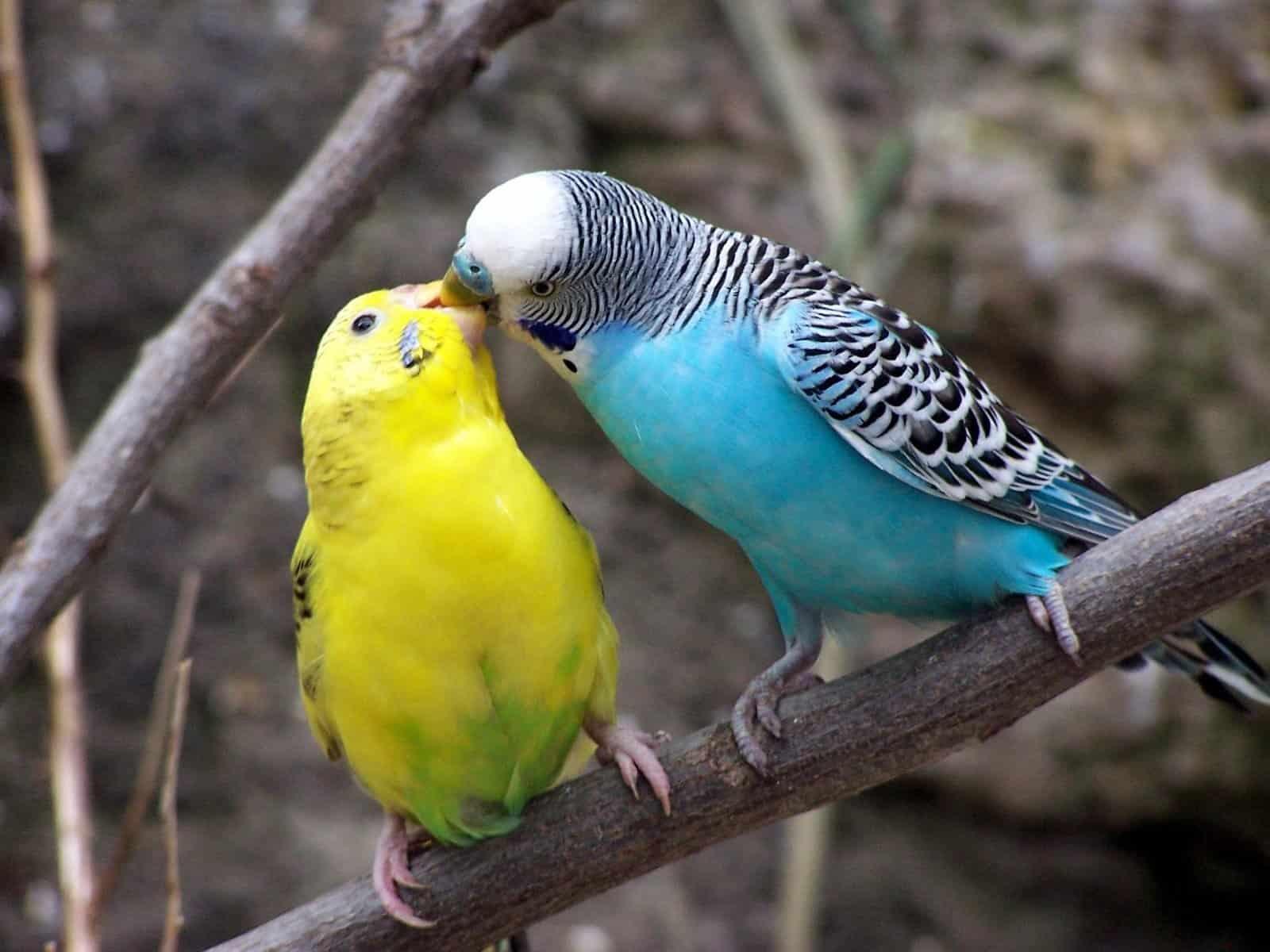 Parakeet Behavior and Sounds: How to Understand Your Pet Bird