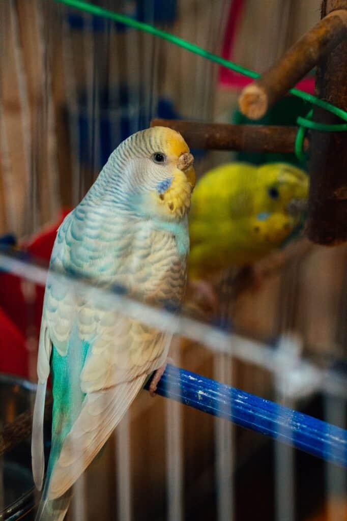 How Long Do Parakeets Live?