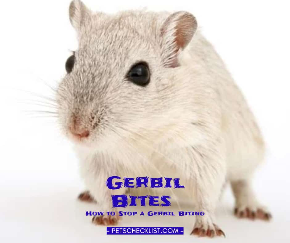Gerbil Bites: How to Stop a Gerbil Biting