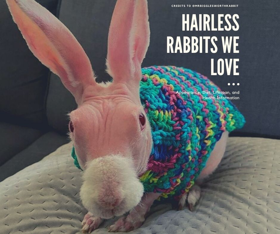 Hairless Rabbit Guide: Appearance, Diet, Lifespan, and Health Information