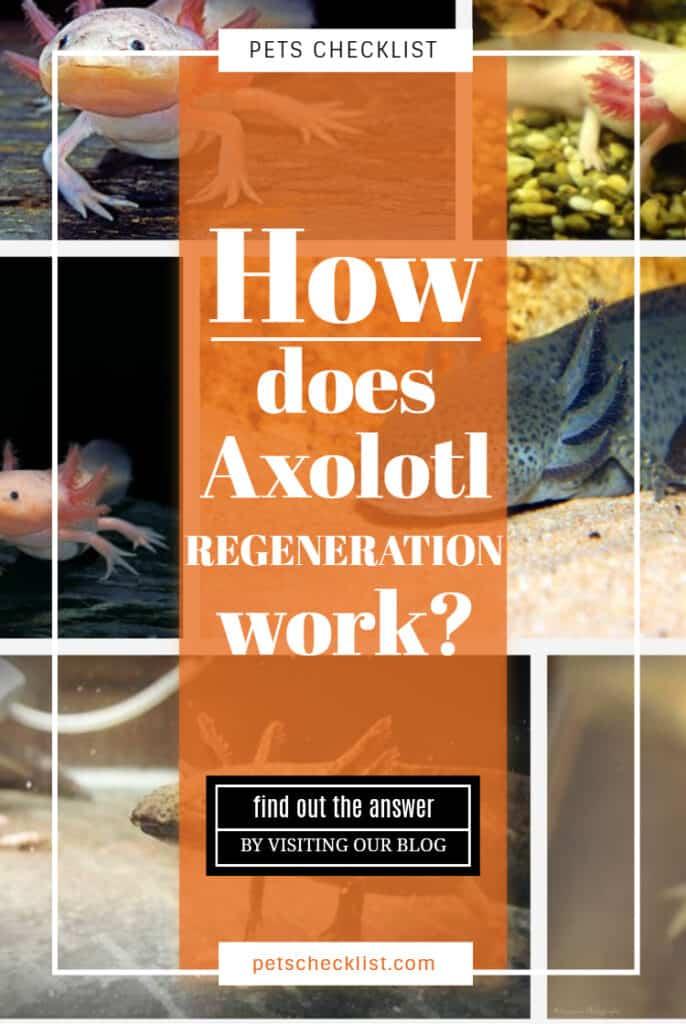 How does axolotl regeneration work