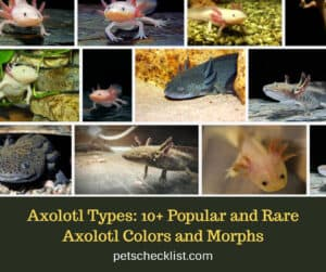 Axolotl Types: 10+ Popular and Rare Axolotl Colors and Morphs