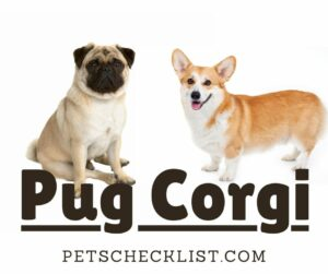 Pug Corgi: Complete Guide with Facts, Characteristics, & Pictures