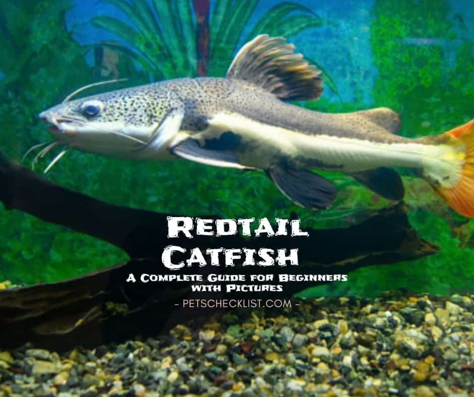 Redtail Catfish: A Complete Guide for Beginners with Pics