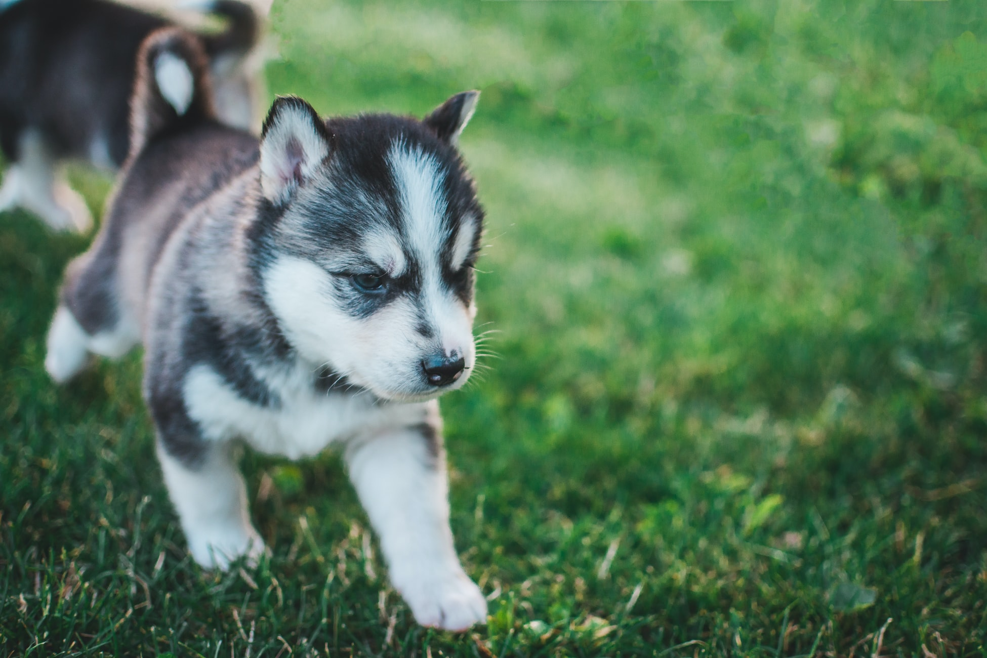What-Does-A-Baby-Husky-Look-Like