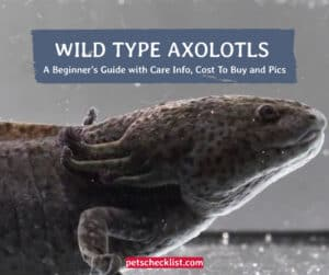Read more about the article Wild Type Axolotl: A Beginner's Guide with Care Info, Cost To Buy and Pics
