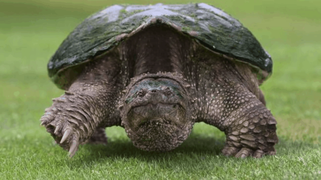 adult snapping turtle
