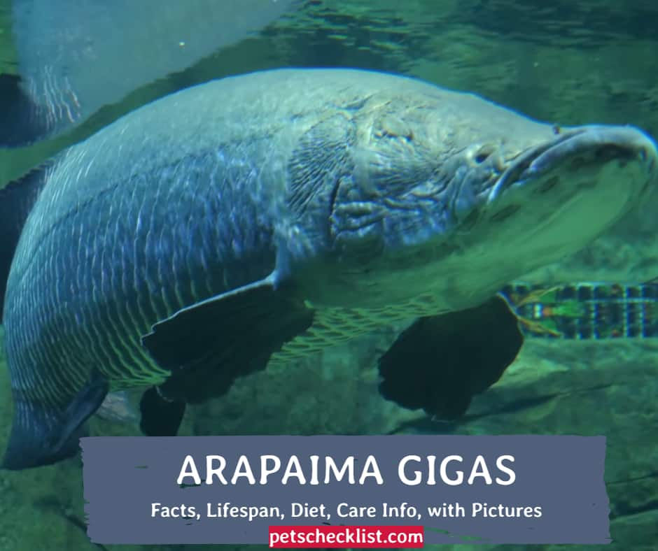 Arapaima Gigas As Pets? Facts, Lifespan, Diet, Care Info, with Pictures