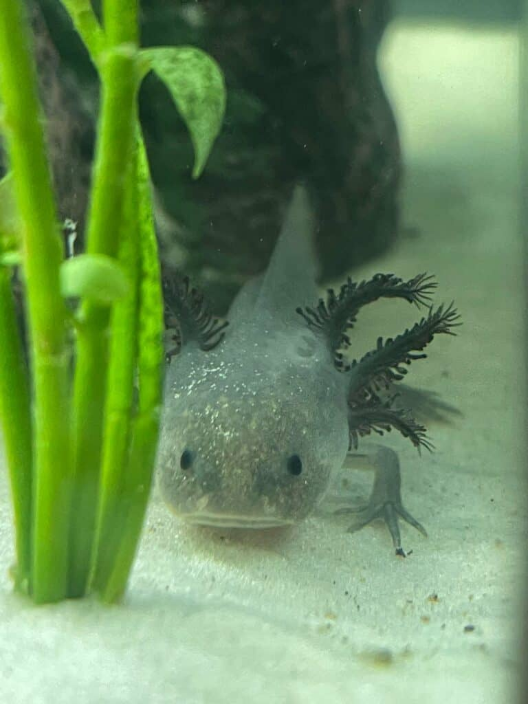 axolotl lighting and water temperature