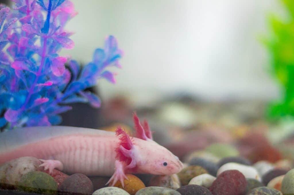 axolotls as pets