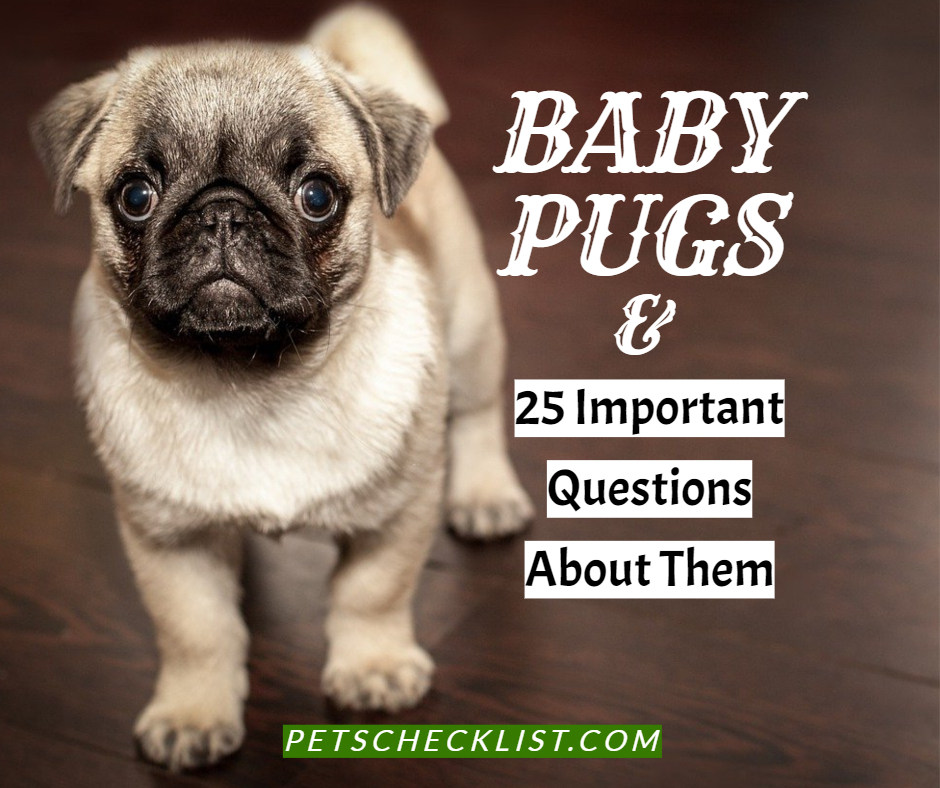 Baby Pugs: Comprehensive Answers to 25 Important Pug Questions