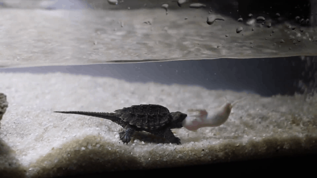 baby snapping turtle eating