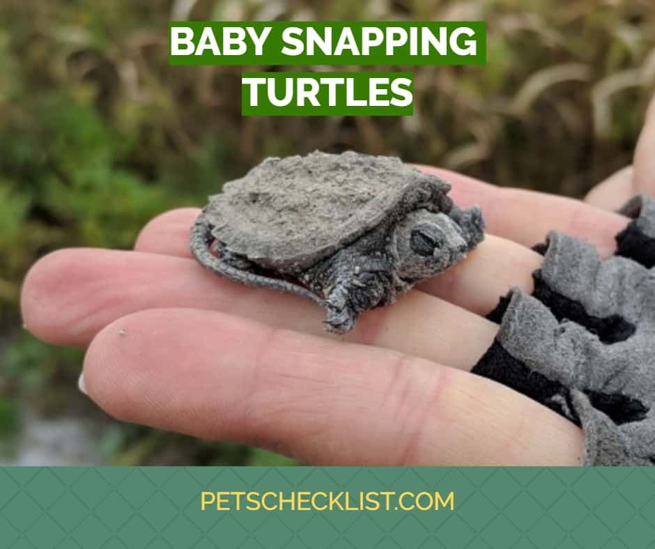 Read more about the article Baby Snapping Turtle: Care Info, Diet, Appearance and More