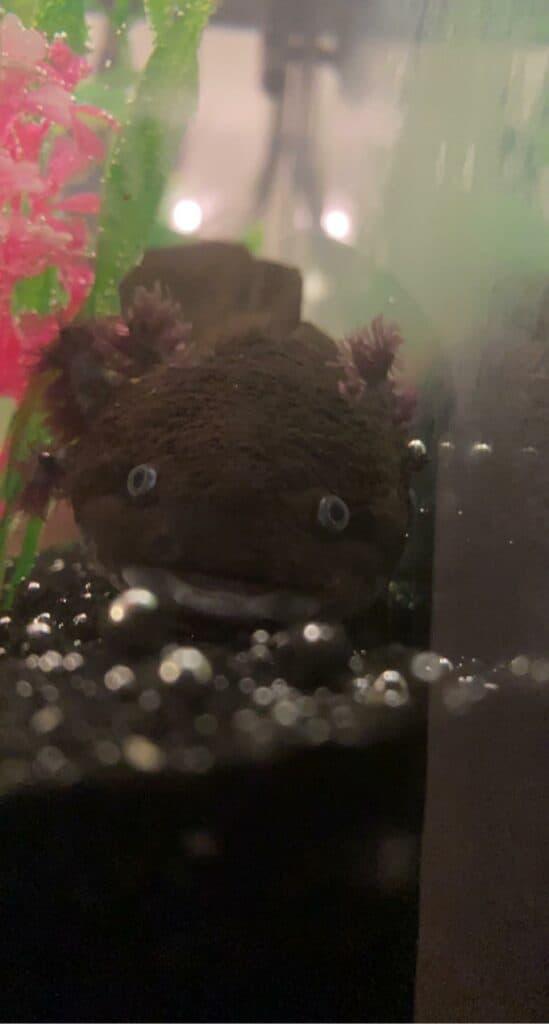 black melanoid axolotls