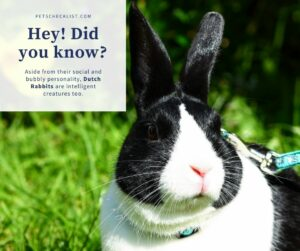 Dutch Rabbit: A Complete Guide Before Getting One