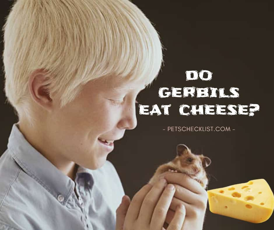 Can Gerbils Eat Cheese? Nutrition, Health Benefits, Side Effects, other Facts