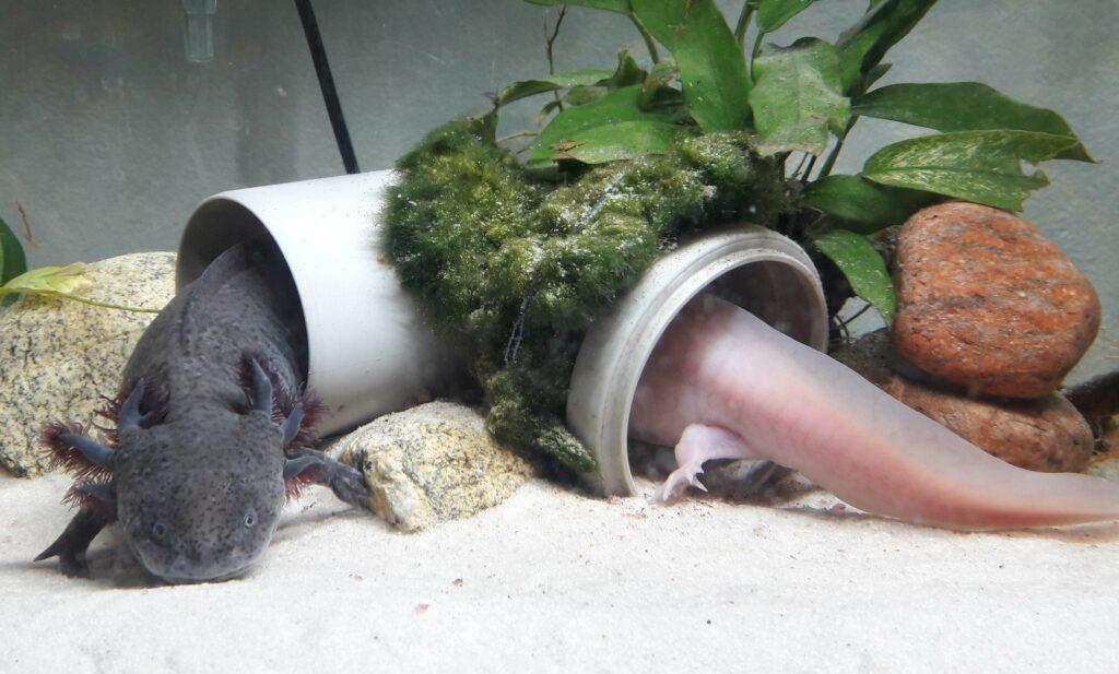 hides for axolotls