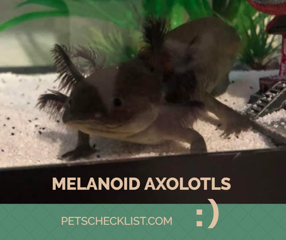Melanoid Axolotl: A Complete Species Guide for Beginners