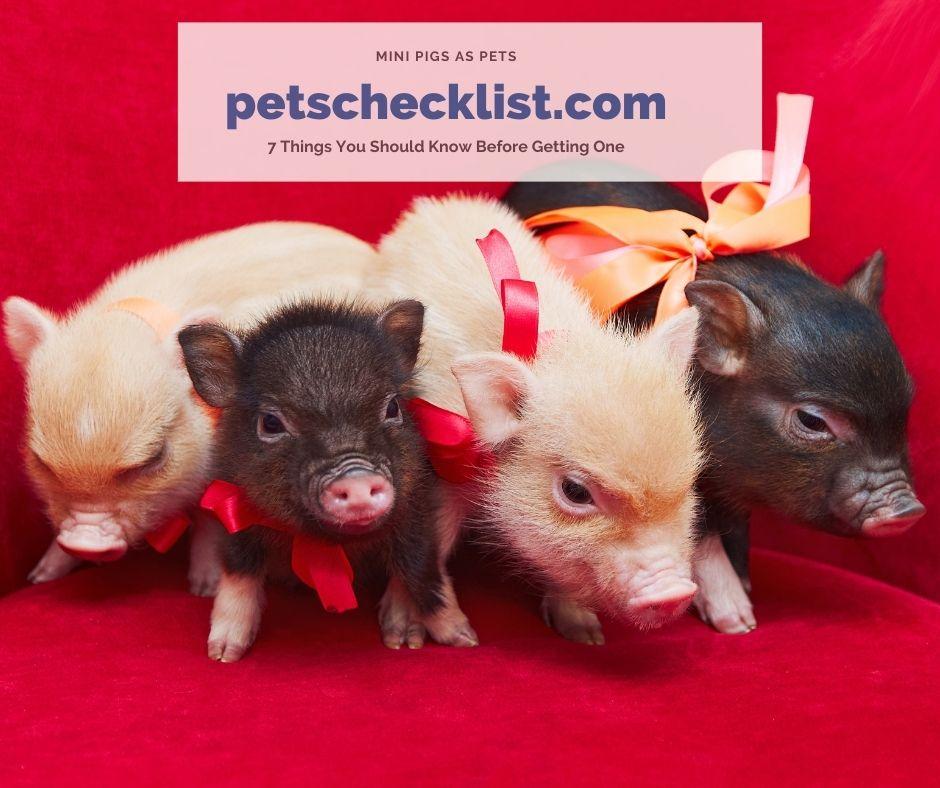 mini pet pigs