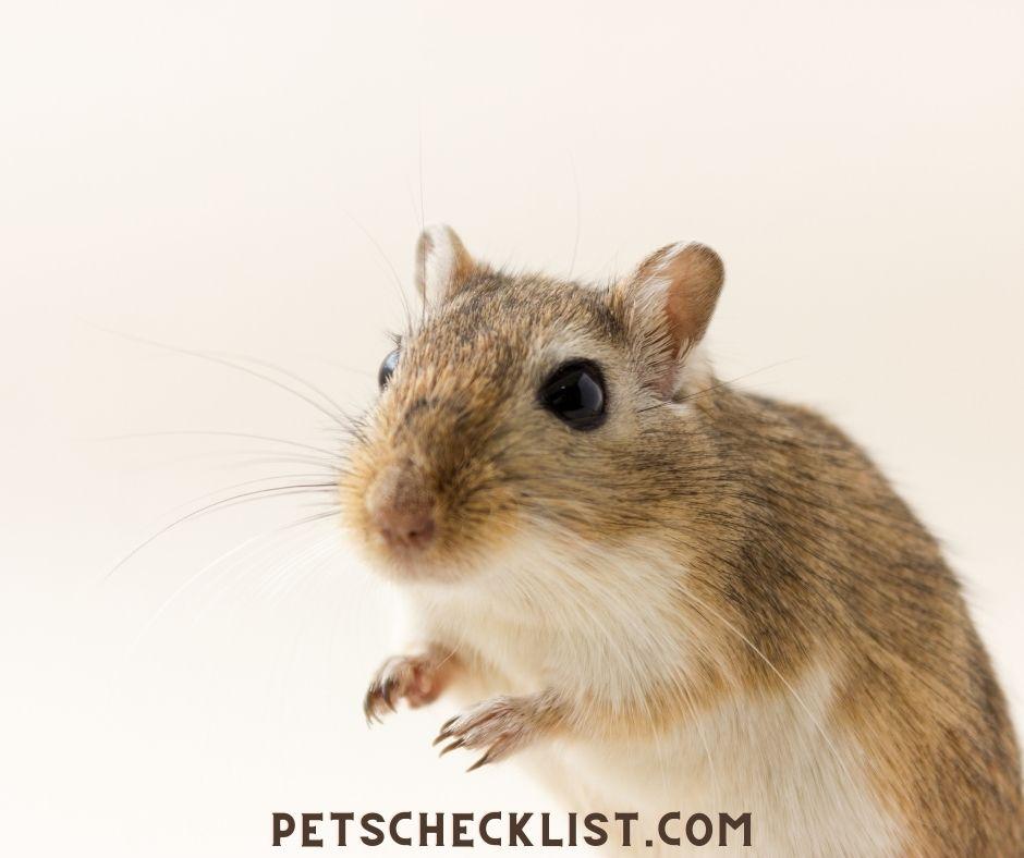 pet gerbils advantages as pets