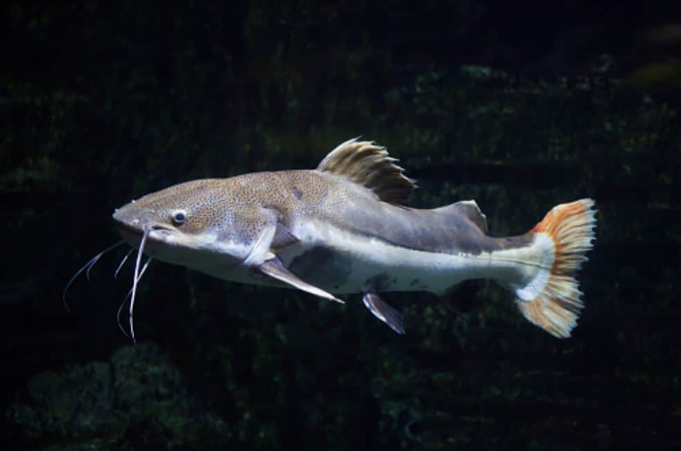 redtail catfish apperance