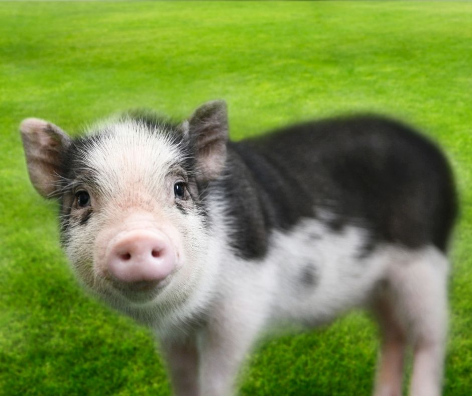 teacup-pig-in-the-grass