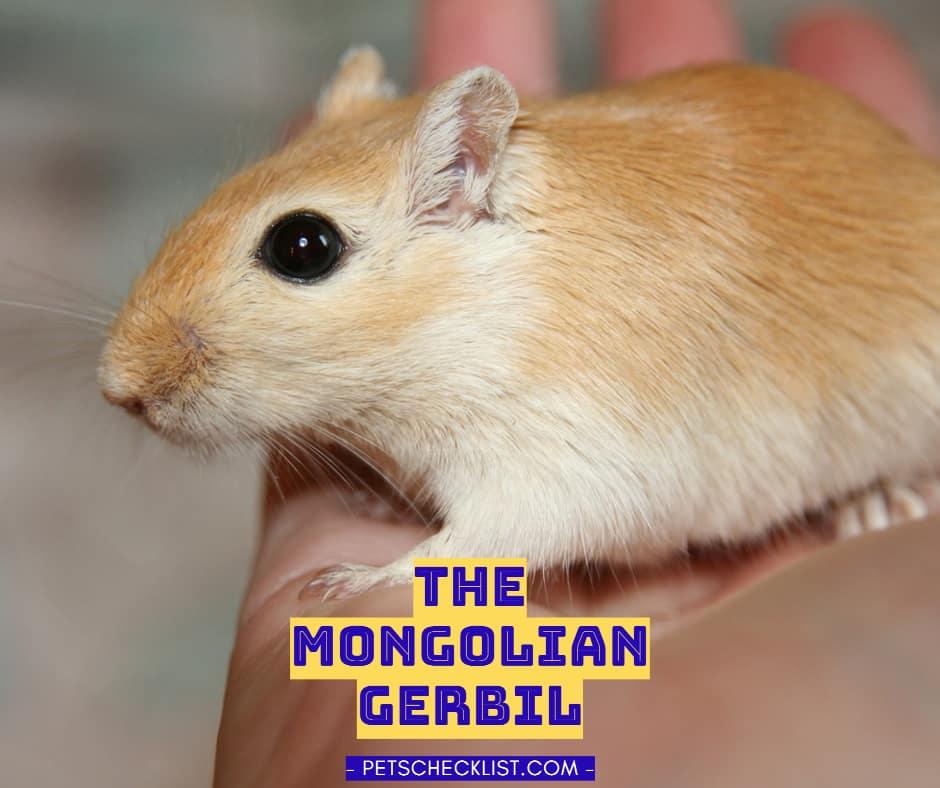 Mongolian Gerbils: Keeping and Caring for Pet Gerbils