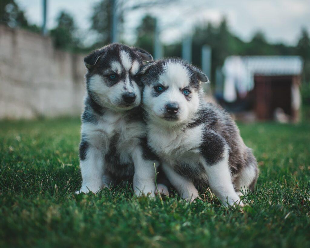 training baby huskies