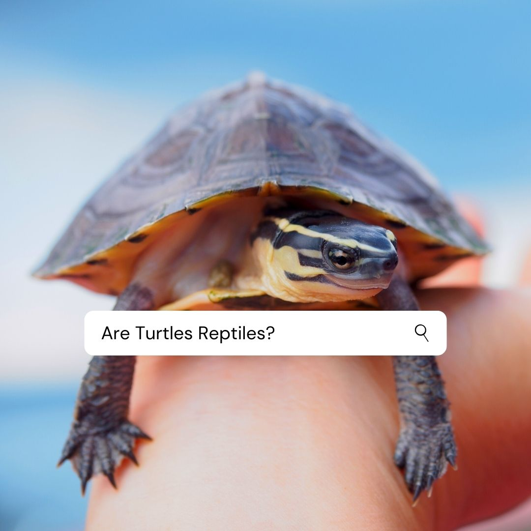 Read more about the article Are Turtles Reptiles Or Amphibians? Quick Answer with Pictures