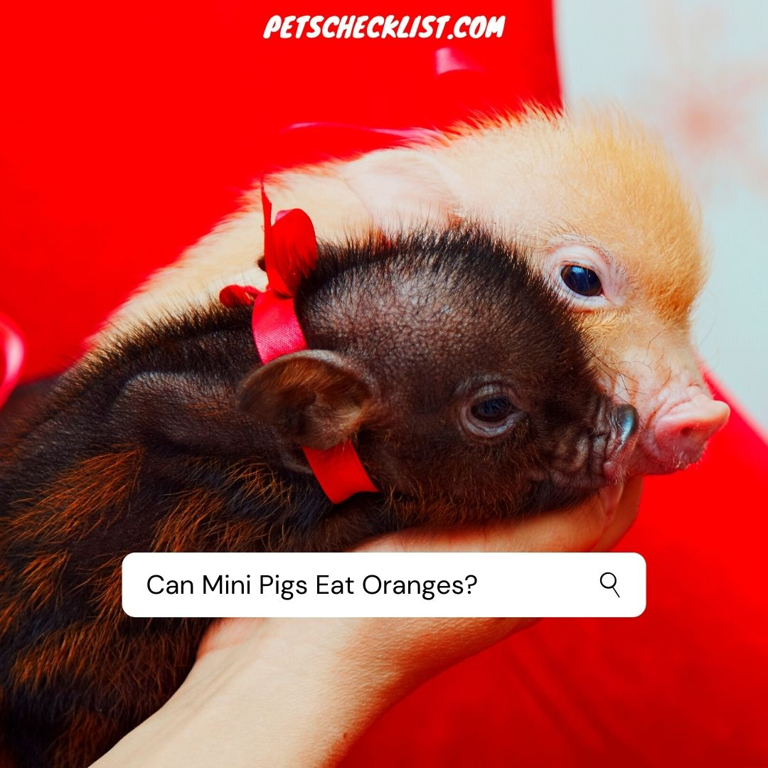 You are currently viewing Can Mini Pigs Eat Oranges? Know Your Pig More