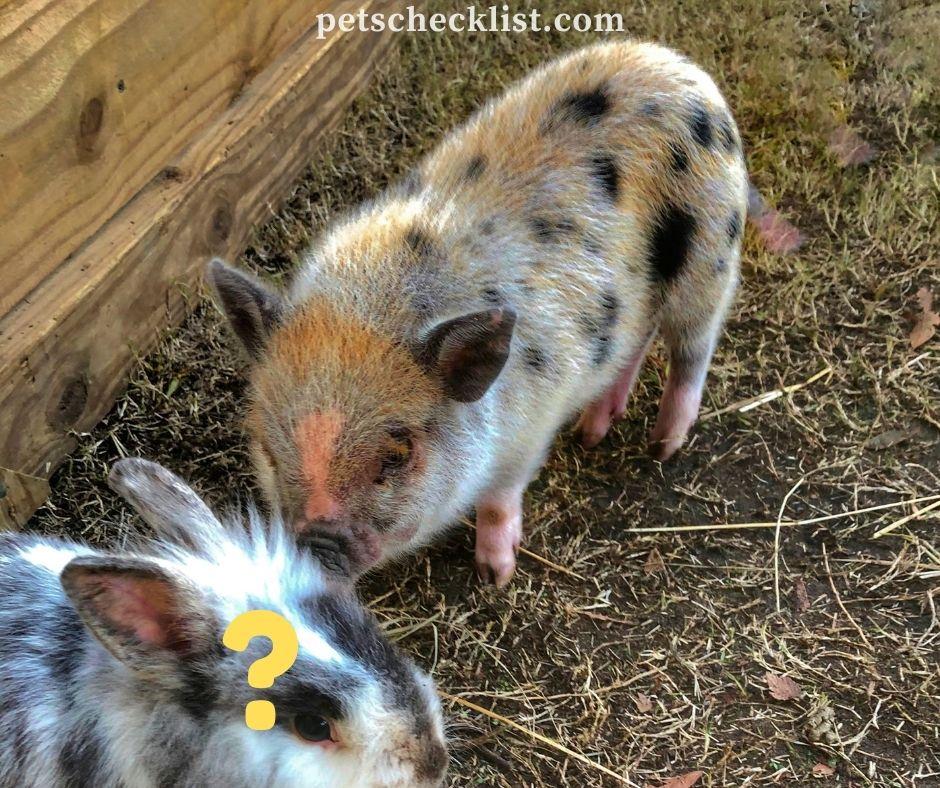baby mini pigs