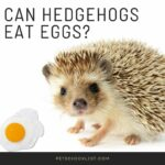 Can Hedgehogs Eat Eggs? Truths You Should Know About Their Diet