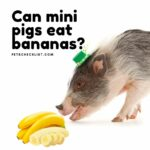 Can Mini Pigs Eat Bananas? Moderation and Serious Warnings
