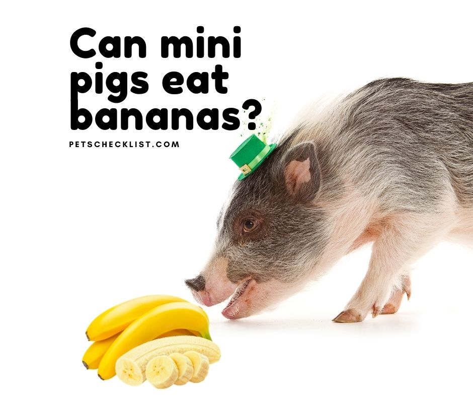 You are currently viewing Can Mini Pigs Eat Bananas? Moderation and Serious Warnings