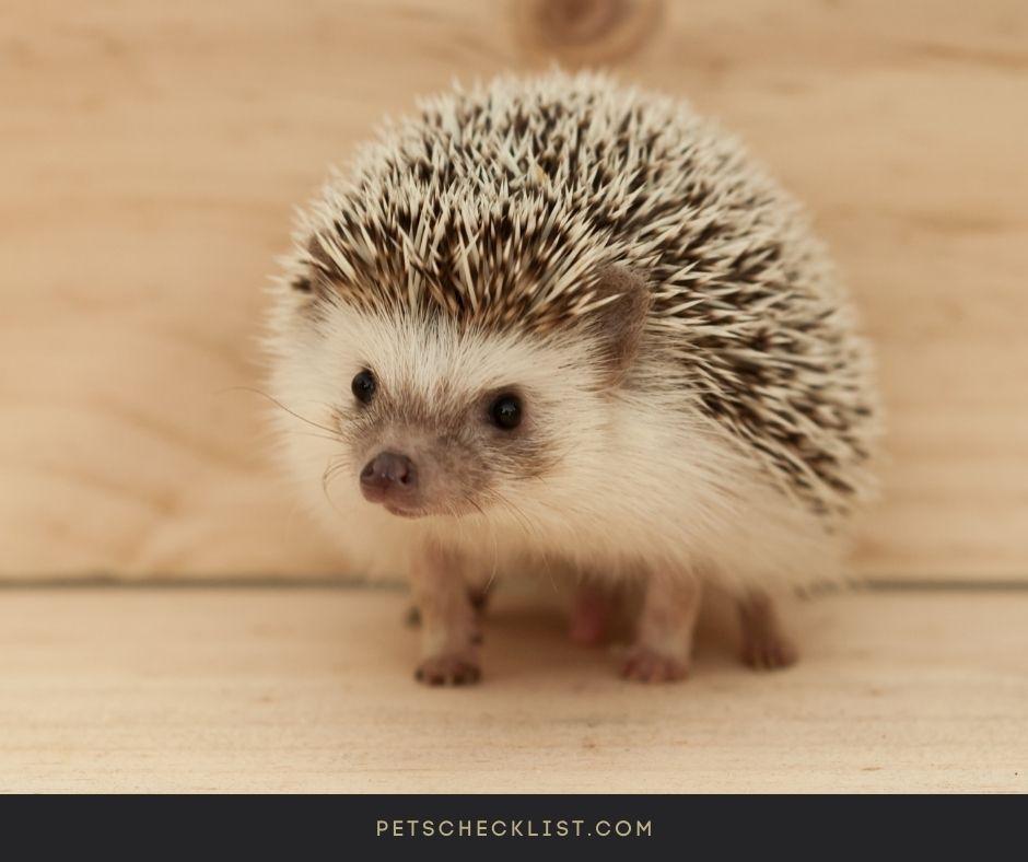 cute hedgie