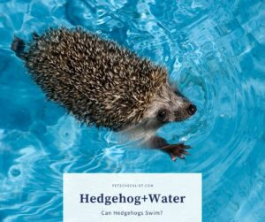 Can Hedgehogs Swim? Do they like to be in the water?