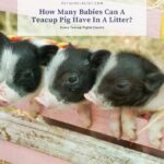 How Many Babies Can A Teacup Pig Have In A Litter?