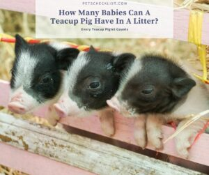 Read more about the article How Many Babies Can A Teacup Pig Have In A Litter?