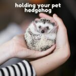 How Long Can You Hold Your Pet Hedgehog?