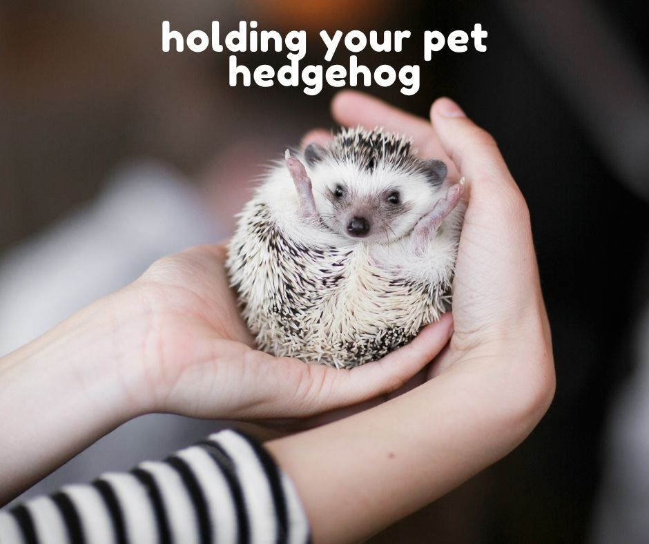 You are currently viewing How Long Can You Hold Your Pet Hedgehog?