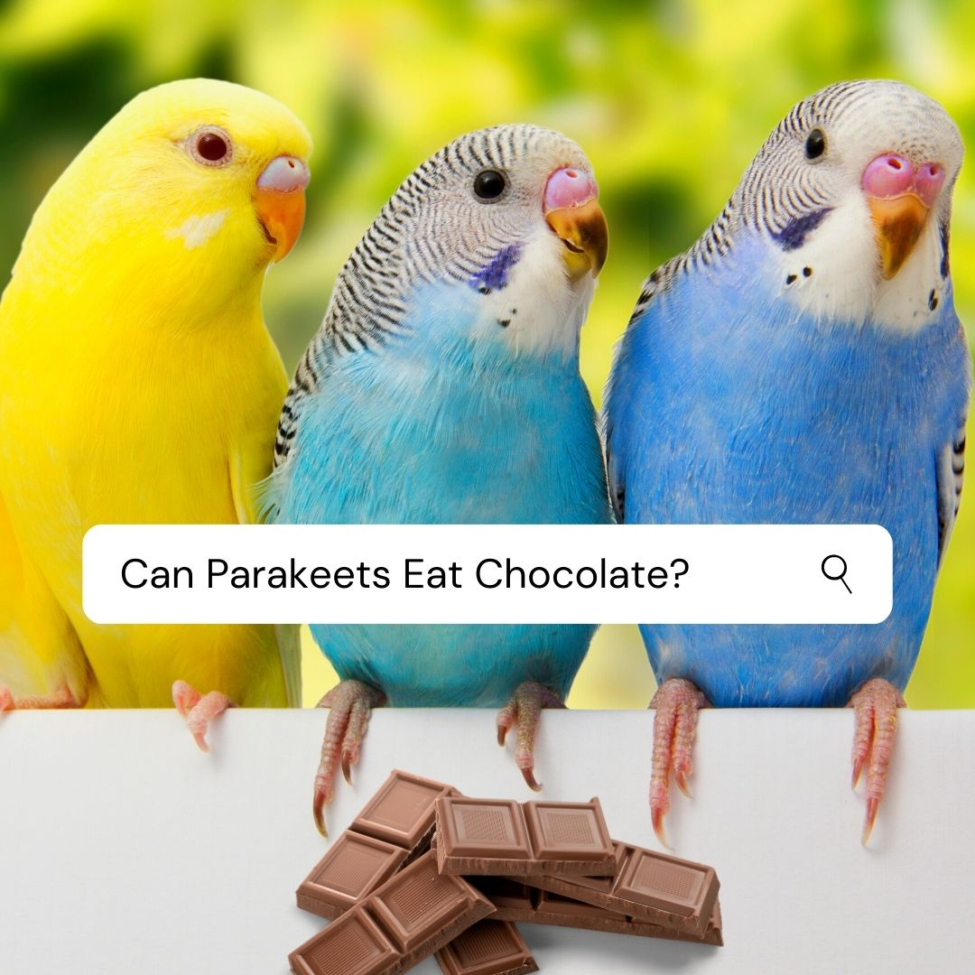 Can Parakeets Eat Chocolate? Too Sweet for Budgies