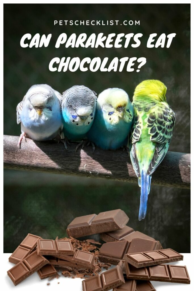 Can Parakeets Eat Chocolate